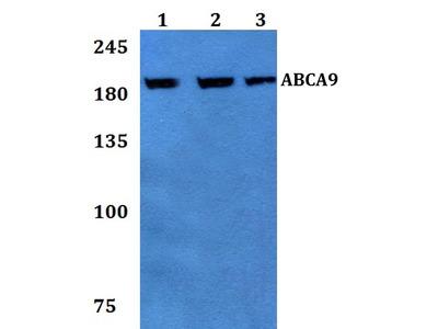 Rabbit Anti-ABCA9 Antibody