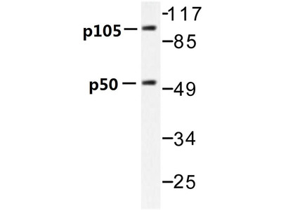 Rabbit Anti-NFkB-p105 Antibody
