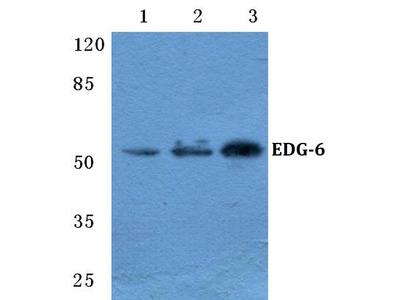 Rabbit Anti-EDG-6 Antibody