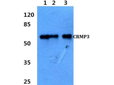 Rabbit Anti-CRMP-3 Antibody