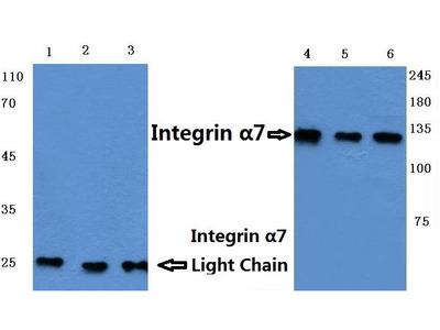 Rabbit Anti-Integrin alpha7 Antibody