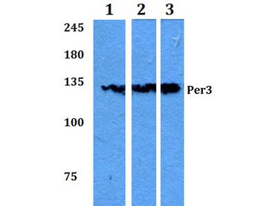 Rabbit Anti-Per3 Antibody