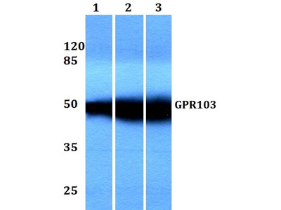 Rabbit Anti-GPR103 Antibody