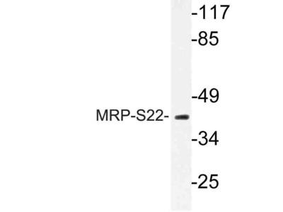 Rabbit Anti-MRP-S22 Antibody