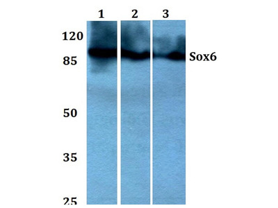 Rabbit Anti-SOX6 Antibody