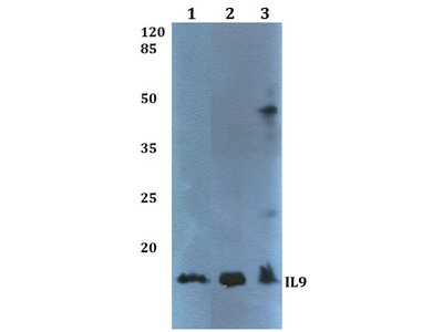 Rabbit Anti-IL9 Antibody