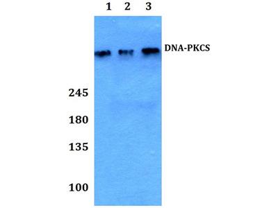 Rabbit Anti-DNA-PKCS Antibody