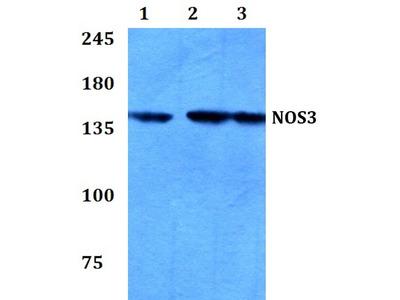 Rabbit Anti-NOS3 Antibody