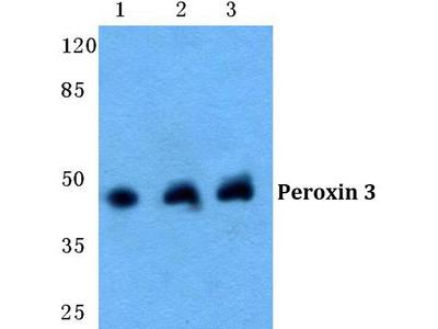 Rabbit Anti-Peroxin 3 Antibody