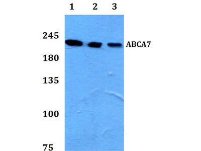 Rabbit Anti-ABCA7 Antibody