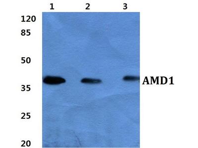 Rabbit Anti-AMD1 Antibody