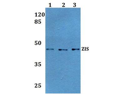 Rabbit Anti-ZIS Antibody