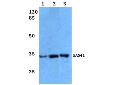 Rabbit Anti-GAS41 Antibody