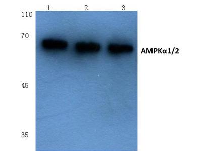 Rabbit Anti-AMPK alpha1/2 Antibody