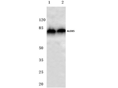 Rabbit Anti-ALOX5 Antibody