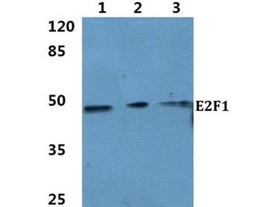 Rabbit Anti-E2F-1 Antibody
