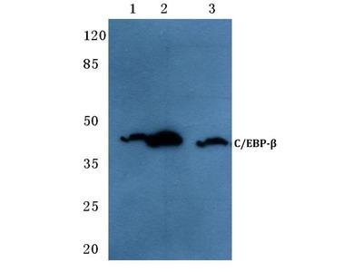 Rabbit Anti-C/EBP Antibody