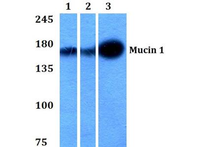 Rabbit Anti-Mucin 1 Antibody