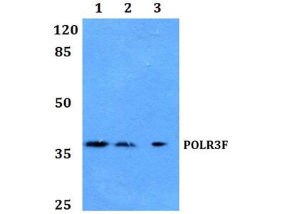 Rabbit Anti-POLR3F Antibody