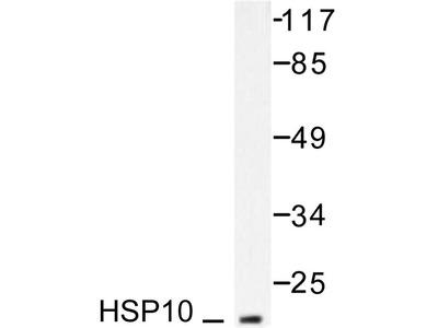 Rabbit Anti-HSP10 Antibody