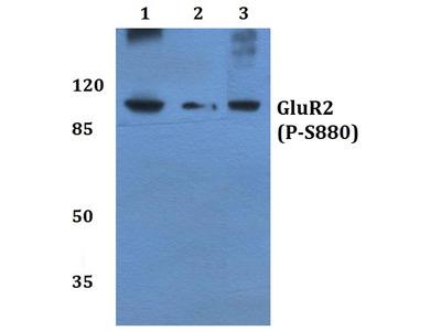 Rabbit Anti-GluR-2, phosphorylated Antibody