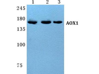 Rabbit Anti-AOX1 Antibody