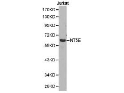 Rabbit Anti-NT5E Antibody