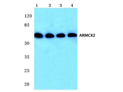 Rabbit Anti-ARMCX2 Antibody