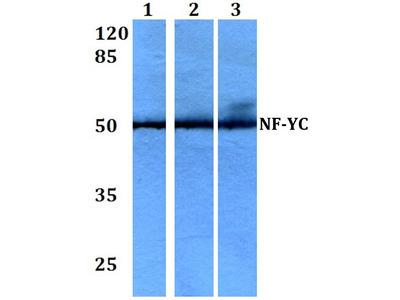 Rabbit Anti-NF-YC Antibody