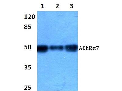 Rabbit Anti-AChR alpha7 Antibody