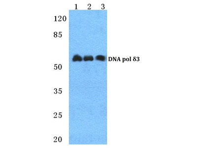 Rabbit Anti-DNA Polymerase delta 3 Antibody