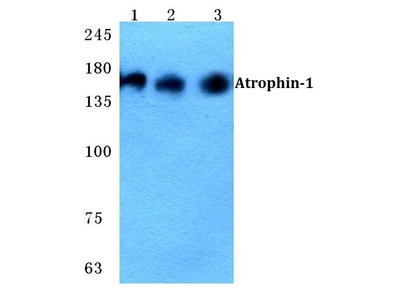 Rabbit Anti-Atrophin-1 Antibody