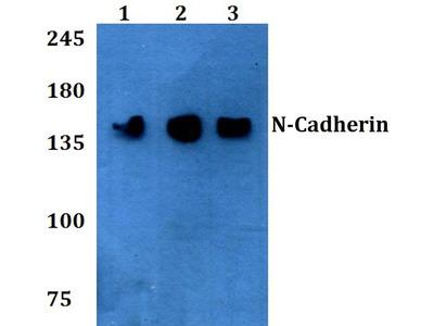 Rabbit Anti-N-Cadherin Antibody