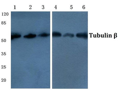 Mouse Anti-Tubulin beta Antibody (HRP)