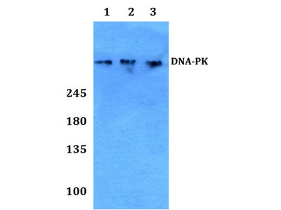 Rabbit Anti-DNA-PK Antibody