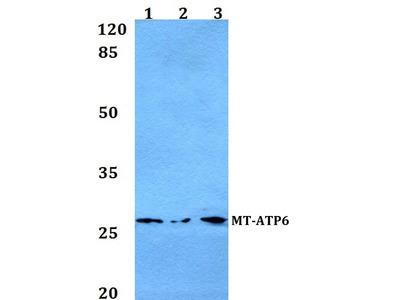 Rabbit Anti-MT-ATP6 Antibody