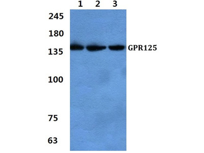 Rabbit Anti-GPR125 Antibody