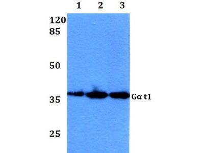 Rabbit Anti-Galpha t1 Antibody