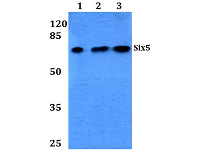 Rabbit Anti-SIX5 Antibody
