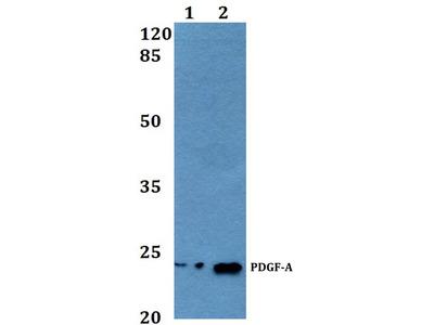 Rabbit Anti-PDGF-A Antibody