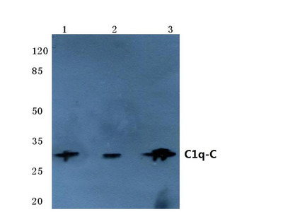 Rabbit Anti-C1q-C Antibody