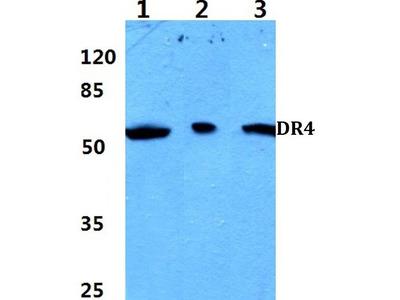 Rabbit Anti-DR4 Antibody