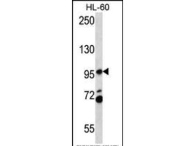 Rabbit Anti-PACS2, CT Antibody