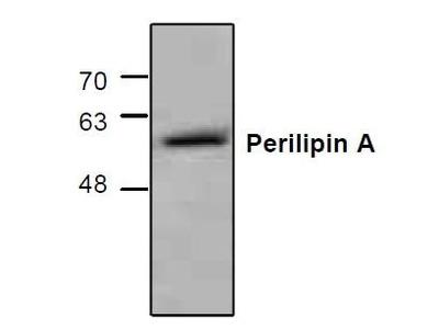 Rabbit Anti-Perilipin A Antibody