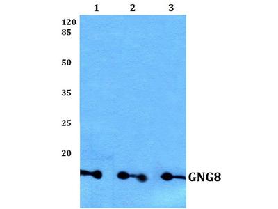 Rabbit Anti-GNG8 Antibody