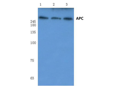 Rabbit Anti-APC Antibody