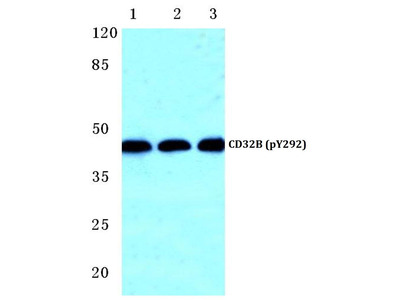Rabbit Anti-CD32-B, phosphorylated Antibody