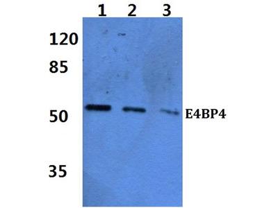 Rabbit Anti-E4BP4 Antibody