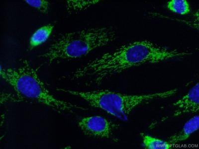 COX7A2 antibody