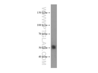 NR1H2 antibody - KD/KO Validated (1E12B10)